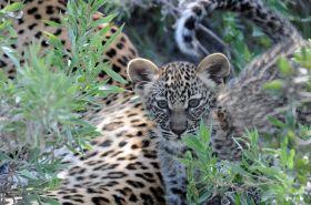 B2014.leopard1437w