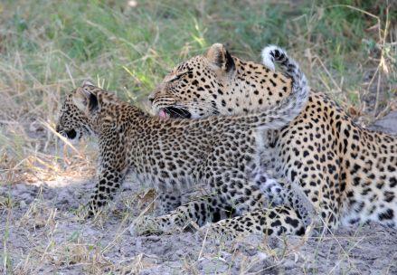 B2014.leopard1530w