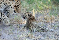 B2014.leopard1541w