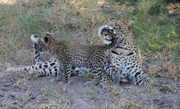 B2014.leopard1546w