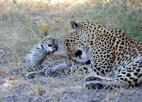 B2014.leopard1572w