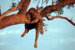 B2014.leopard1782w