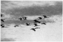 ibis albumen